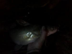hard work for a tiny catfish