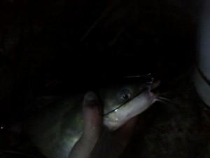 hard work for a tiny catfish2